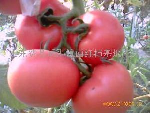山东西红柿基地