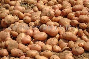 克新1号土豆种子