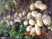 费乌瑞它土豆种子