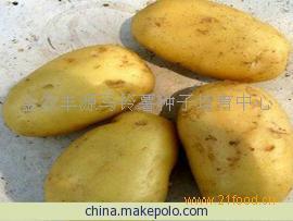 鲁引1号土豆种子