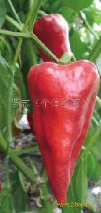 大棚甜辣椒