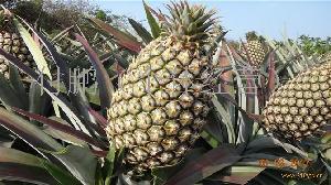 台湾金钻17菠萝