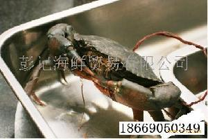 香辣蟹原材料缅甸黑蟹(肉蟹)