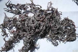 印尼古邦海藻