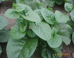 豆腐菜种子