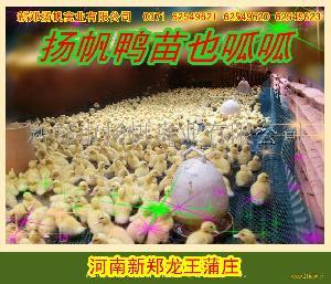克里莫大种番鸭