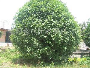 绿化苗木桂花