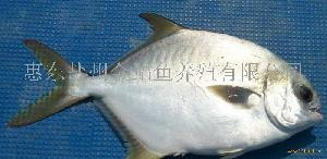 鲜活金鲳鱼