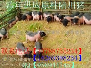 陆川猪【广西-玉林】