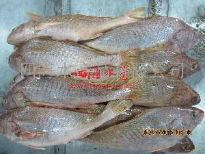 墨西哥大黄鱼