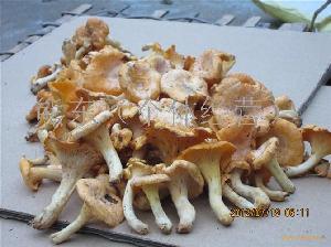 黄丝菌(鸡油菌)