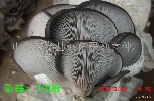 济宁平菇菌种