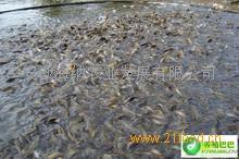 安徽养泥鳅