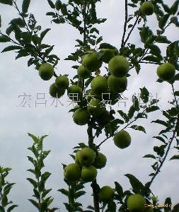 山东黄金帅苹果价格
