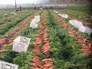 优质胡萝卜