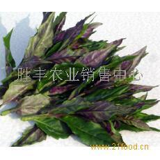 补血菜   紫背天葵