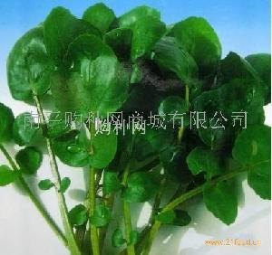 豆瓣菜种子