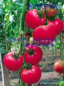 番茄种子-粉丽莎