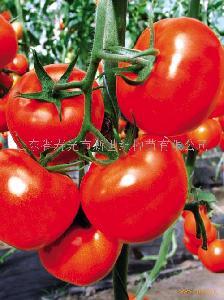 番茄种子-大红袍