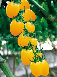 樱桃番茄种子-黄圣衣