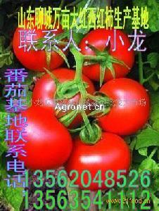 以色列大红西红柿