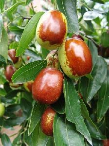 鲜乐陵红枣