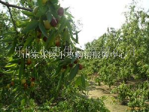 原生枣树苗产地批发成活率高
