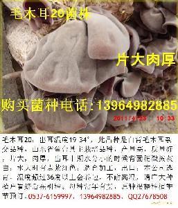 毛木耳菌种