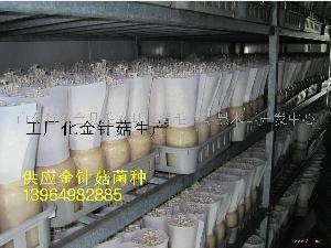 金针菇菌种