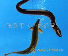 安徽泥鳅养殖技术 安徽肥西养殖技术