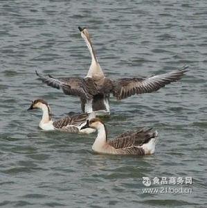 南溪小天鹅
