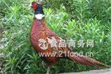 小西川山鸡