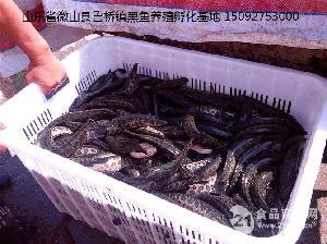 现货热卖黑鱼苗 厂家直销 优质黑鱼苗 价格实惠 批发黑鱼苗